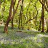 Bluebells Letterfrack Woods