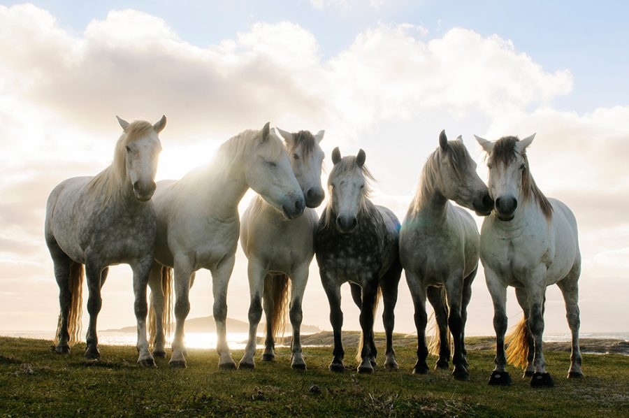 Emma Massingdale Connemara Ponies Omey Island
