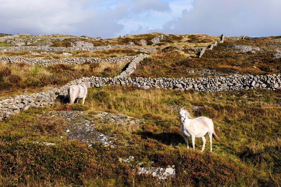 Connemara Ponies and Stone Walls