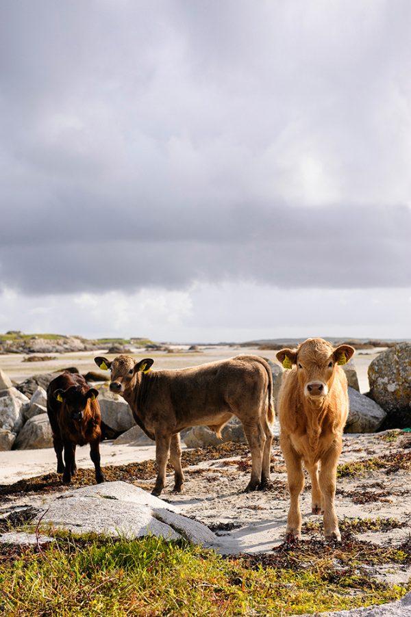 Cows on beach near Carna